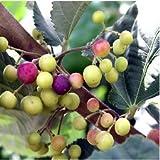 Sherbet Berry Grewia asiatica LIVE PLANT Falsa Phalsa fruit