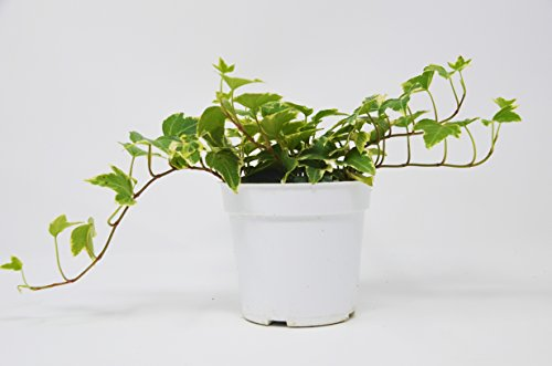 English Ivy 'Eva' - Live House Plant - FREE Care Guide - 4'' Pot by House Plant Shop