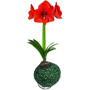 Amazon.com : Glitter Dipped Wax Amaryllis Bulb - Green