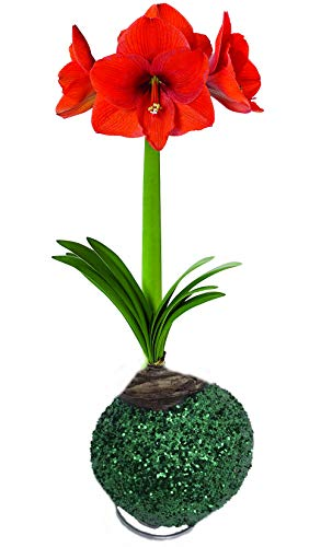 - Glitter Dipped Wax Amaryllis Bulb - Green -Amazing No Soil/Water Needed to Bloom