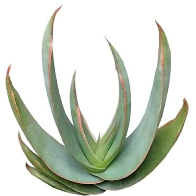 Succulent Coral Aloe Striata Pink Edge Coral Flower Crown Spiky Aloe (4 inch Pot) : Garden & Outdoor