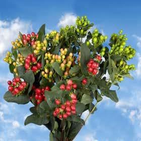 GlobalRose 240 Fresh Cut Assorted Colors Hypericum Flowers - Fresh Flowers For Birthdays, Weddings or Anniversary.