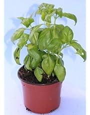 Albahaca (Maceta 10,5 cm Ø) - Planta viva - Planta aromatica