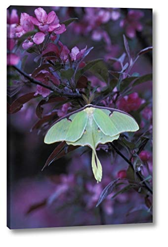 USA, Pennsylvania Luna Moth on crabapple Tree by Nancy Rotenberg - 16