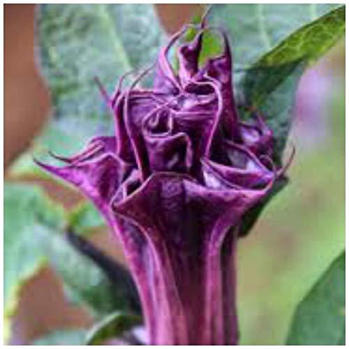 (Portal Cool 10 Seeds of Datura Single Purple, Angel Trumpet, Seed R)