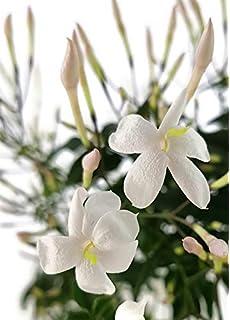Jasminum Polyanthum Duft Jasmin Kletterpflanze Amazonde Garten