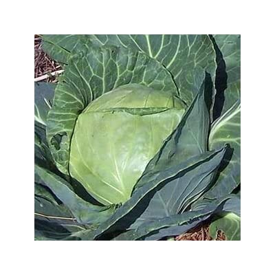 HeirloomSupplySuccess 50 Heirloom Late Dutch Flat Cabbage Seeds : Garden & Outdoor