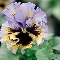 Hemerocallis Ruffled (Fluffy Ruffled Blue Swirl Pansy Seeds 50 Seeds Upc 647923988895)