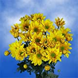 GlobalRose 36 Fresh Cut Yellow Chrysanthemum Daisy Flowers - Fresh Flowers For Birthdays, Weddings or Anniversary.