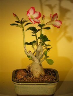 Bonsai Boy's Flowering Desert Rose Bonsai Tree - Small Adenium Obesum by By BBNY