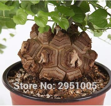 Hottentots Bread Dioscorea elephantipes bonsai home garden T003 Elephant s Foot Pinkdose 3pcs Turtle Back