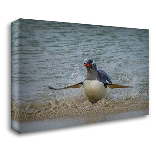 Falkland Islands, Bleaker Island Gentoo Penguin 38x27 Gallery Wrapped Stretched Canvas Art by Illg, Cathy - Gordon ()