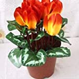 Cyclamen, cyclamen flower seeds, cyclamen seeds Rabbit Flower -100seeds
