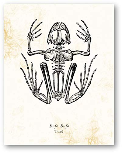 (Ramini Brands Bufo Bufo Toad Animal Skeleton Vintage Drawing - Living Room, Office, Bedroom Decor - Cabin Artwork - 11 x 14 Unframed Print - Great Gift for Reptile Lovers, Zoologists, Biologists)