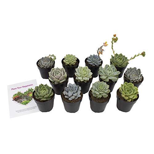 - Altman Plants Assorted Live Succulents Flowering Rosette Collection Echeveria, sedeveria, perfect for party favors and arrangements, 2.5
