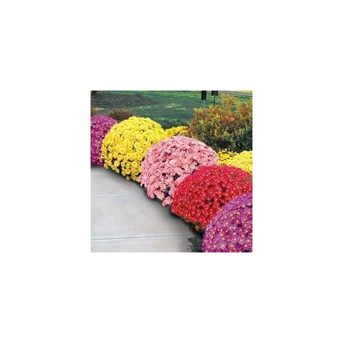 "(PCHR)~""GARDEN MUM MIX"" CHRYSANTHEMUM~Seed!!~~~~~~Lots of Fall Color!"