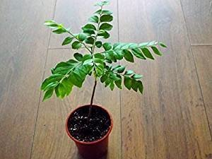 Curry Leaf Tree Bergera Koenigii L 20 25cm Plant