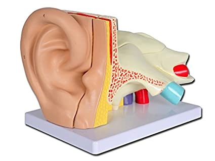 Gima Ear Anatomy Model 3x Maginification Educational Ent Model