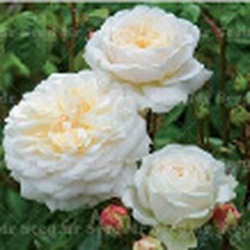 Chelsea 100Pcs/Pack Climbing Rose Flower Seeds Beautiful Folower Seeds for Home Garden Random ()