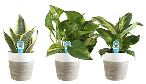 3-pack of clean air house plants