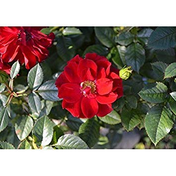Buy rose rugosa plant