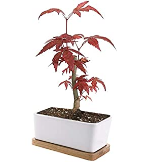 Bonsai Garden Seed Starter Kit   Easily Grow Miniature Rare Japanese Red  Maple Trees Indoors: