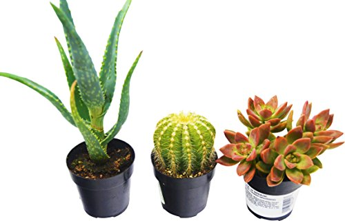 Aloe Vera, Succulent and Cactus Variety Pack / All Different Species / 2.5