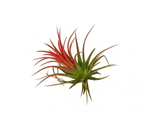 Tillandsia ionantha 'Rubra' Plant. Air plant - Popular at Chelsea this year Perfect Plants ®