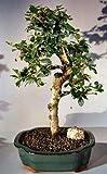 Bonsai Boy's Fukien Tea Flowering Bonsai Tree - Large Upright Style with Tiered Branching ehretia microphylla
