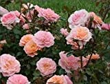 ( 1 gallon) Apricot DRIFT ROSE-double apricot colored flowers begin flowering in spring and display a season-long show of color.