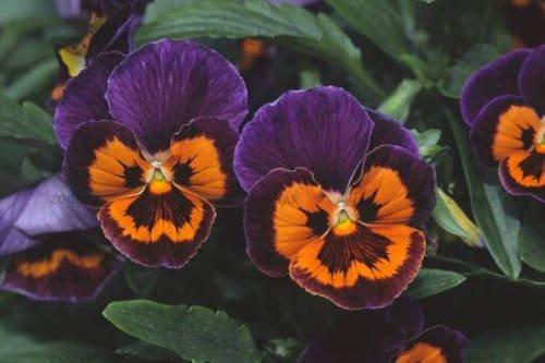 35 Seeds Of PANSY JOKER POKER FACE aka VIOLA FLOWER - Petal Little Mass