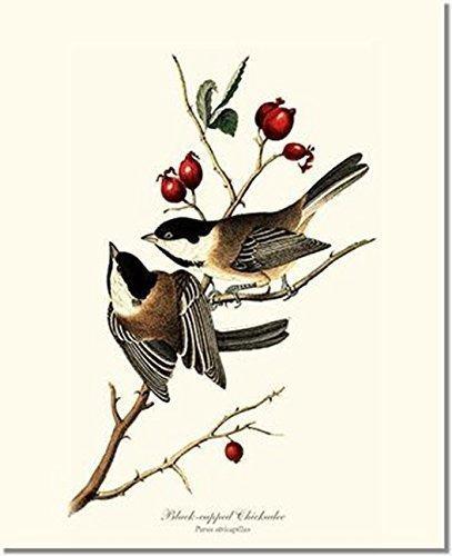 Bird Print - Black-capped Chickadee (James Audubon) Vintage Art