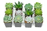 Succulent Plants | 12 Echeveria Succulents | Rooted in Planter Pots with Soil | Real Live Indoor Plants | Gifts or Room Decor by Plants for Pets