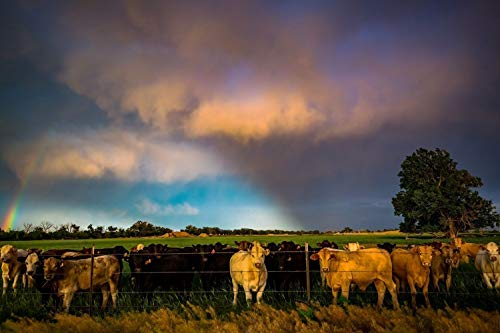 Cow Wall Art Photography Print - Picture of Cattle Gathering at Fence as Light Breaks Through Storm Clouds in Southern Kansas Country Decor Photo 5x7 to 30x45 ()