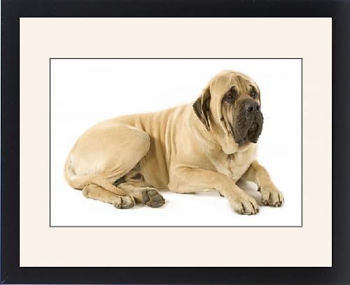 Framed Print of Dog - Mastiff - Lying down by Prints Prints Prints