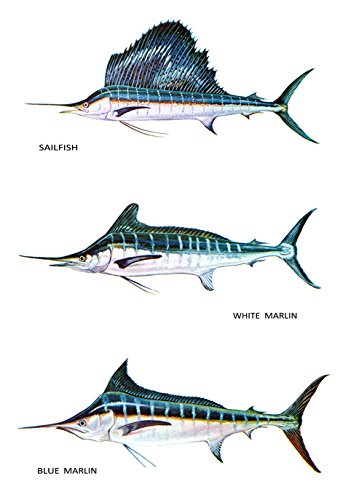 amazon com saltwater fish classification poster blue and white