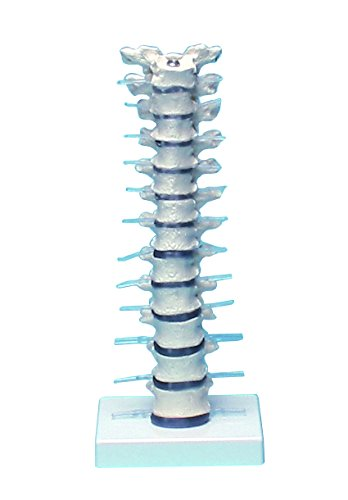 胸椎モデル 385×150×130 /8-8421-01   B00166D37Y