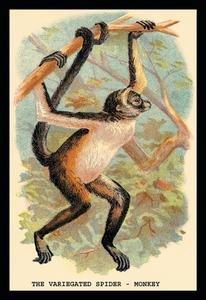 Variegated Spider-Monkey Fine art canvas print (20