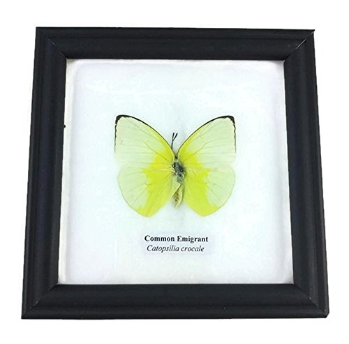 Real Common Emigrant Butterfly Mounts Animals Display Insect Taxidermy in Framed