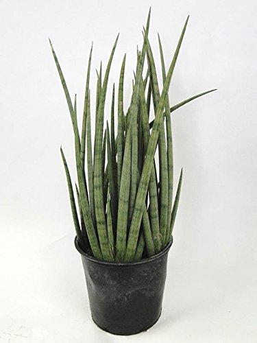 Cylindrical Snake Plant, 6''