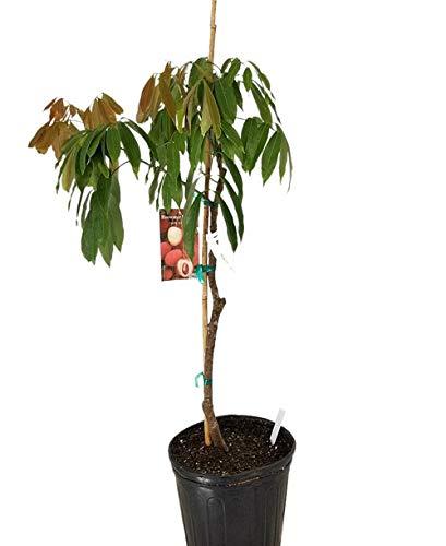 PlantVine Litchi chinensis, Lychee Nut Tree - Large - 8-10 Inch Pot (3 Gallon), Live Plant