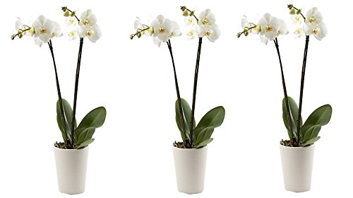 Color Orchids Orchid in ceramic pot, 20-24'' tall, Assorted (3-Pack)