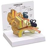 GPI Anatomicals Child Ear Model