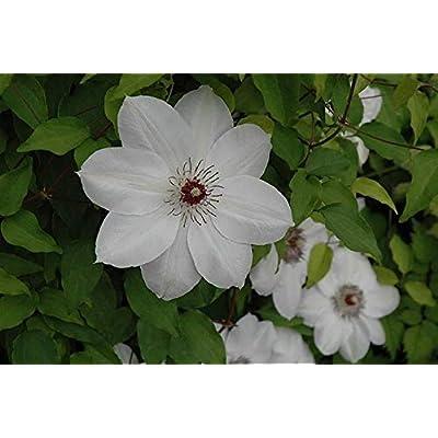 Cutdek Clematis Henryi, (Bare Root/Rhizome)-Flowering Vine Large-Flowered Vine, (3 Plants) : Garden & Outdoor