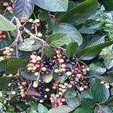 10 Seeds of Tassle Berry TRM149 (Antidesma Venosum)