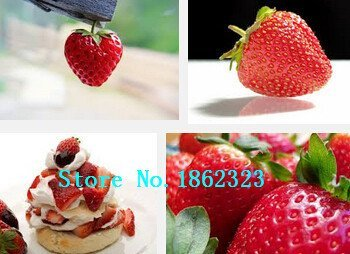 PLAT FIRM Germination Seeds PLATFIRM-500 Ozark Beauty Everbearing Strawberry Seeds~Organic Fruit Seeds ``