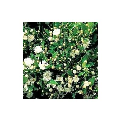 Myrtus communis COMPACT COMMON MYRTLE Seeds! : Garden & Outdoor