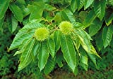 Dunstan Chestnut Tree - 2 Year Old 4-5 Ft Tall - Bob Wells Nursery