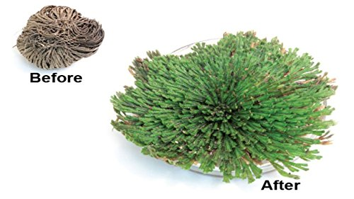 3 Pack Resurrection Plant Magic Hydrophile Rose of Jericho Dinosaur Plant Air Fern Selaginella Spike Moss