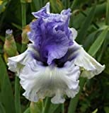 Iris Wintry Sky, Iris Germanica, Bearded Iris, Medium Blue and White, Large (1)